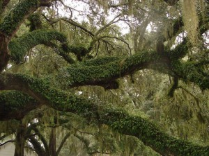 Live Oak coated with Resurrection Fern
