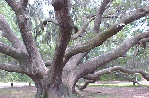 Live Oak (Quercus virginiana) - about 400 years old, Beaufort  County